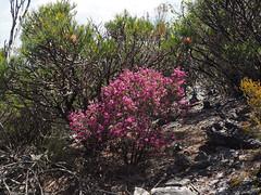 Magnificent Blooms - Mt Trio, Stirling Ranges, Western Australia