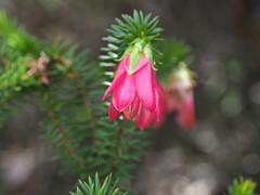 Darwinia - Mt Trio, Stirling Ranges, Western Australia