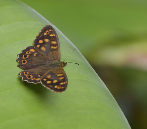 canarian butterfly