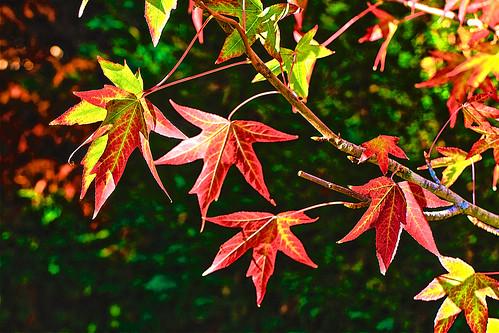 Feuilles d'automne dans mon jardin. Liquidambar
