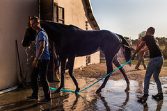 Owner leading his wet horse after a bath