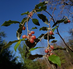Autumn Olive Berries At The Merkle Wildlife Sanctuary
