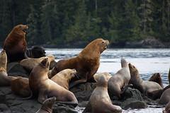 Sea Lions near Broughton Archipelago - British Columbia - Canada