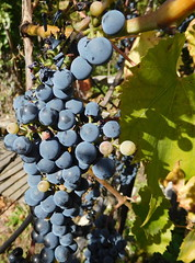 Grape in Sancerre