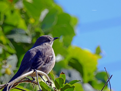 Tennessee Mocking Bird