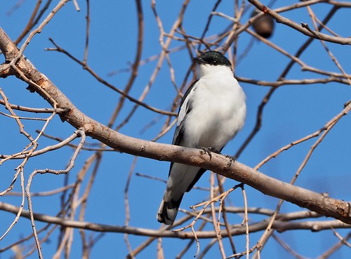 Triller - White-winged