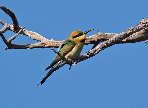 Bee-eater (F)