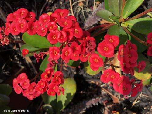 Euphorbia milii - Crown of Thorns, Christ Plant