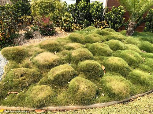 Zoysia tenuifolia - Korean Velvet Grass