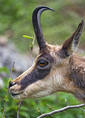 Profile of a cute chamois