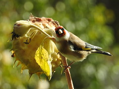 Chardonneret élégant sur tournesol / Goldfinch on his sunflower / Carduelis carduelis. Suisse / Switzerland.