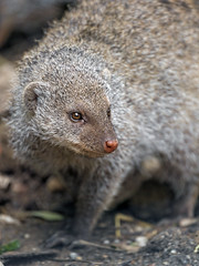 A close banded mongoose