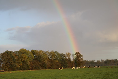 The rainbow, above the heifers