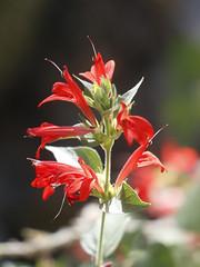 Red Justicia (hummingbird bush)