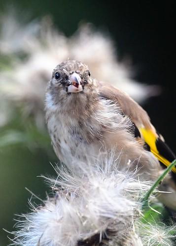 Goldfinch (juv)