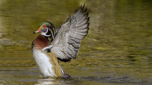 Agitation des ailes
