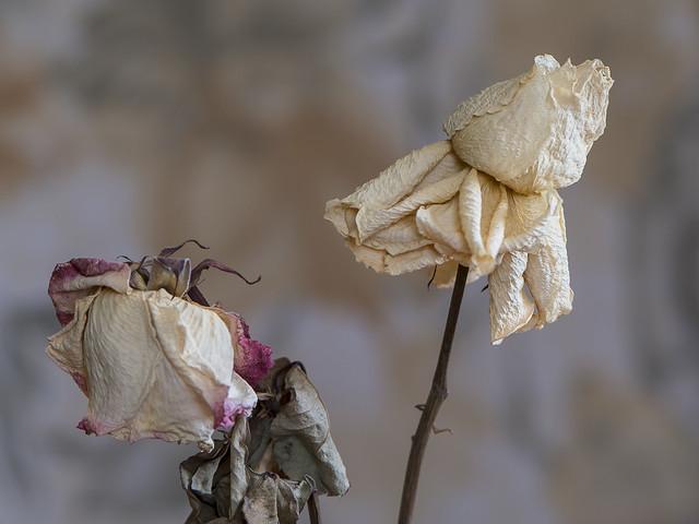 Yin-Yang de la rose