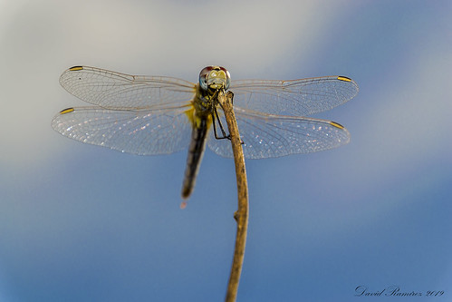 Possing dragonfly
