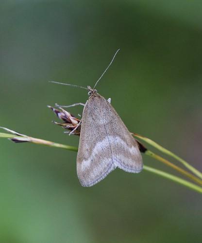 Erzfarbener Zünsler (Pyrausta aerealis) (1)