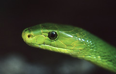 Eastern Green Mamba (Dendroaspis angusticeps) (captive specimen)
