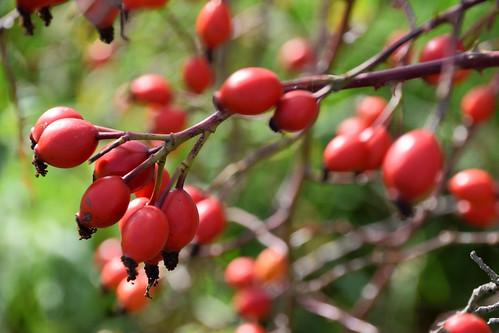 Les cenelles, fruits de l'aubépine