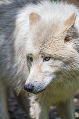 Last wolf portrait