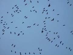 Flock of common cranes flying over France