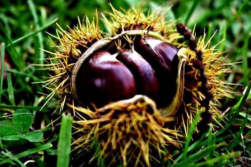 0354 chestnuts