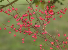 Spindle (Euonymus europaea) tree, laden with its colourful seedpods