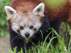 Red panda looking at me