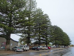 Stansbury Yorke Peninsula. World War One  memorial Norfolk Island Palm trees planted in the main shopping street in 1924.