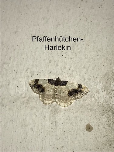Pfaffenhütchen-Harlekin (Ligdia adustata) (1)