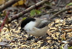 Willow tit among grains,