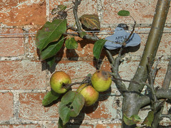 Old Local Apple Varieties