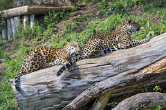 Two jaguars on the log