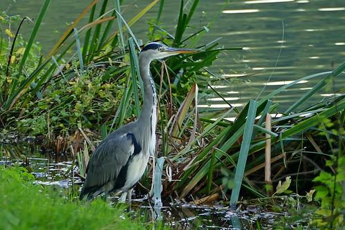 Grey heron - Blauwe Reiger - Héron cendré - Graureiher - Ardea cinerea (Ardeidae)