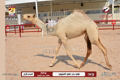 صور منافسات مهرجان قطر الثالث للمجاهيم (أشواط الوضح) صباح  9-11-2019
