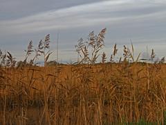 Autumn Evening. Reedbeds .