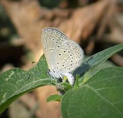 Unknown Blue. Lycaenidae