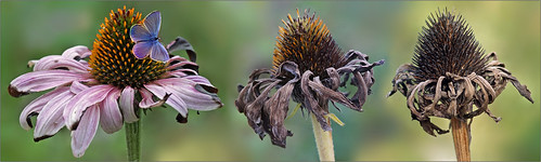 Collage fading purple coneflowers