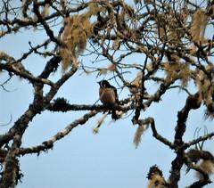 King of Saxony Bird of Paradise. Pteridophora alberti