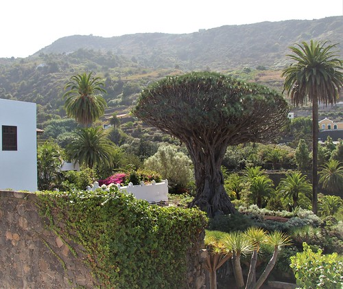 Dragon Tree, Icod de los Vinos, Tenerife