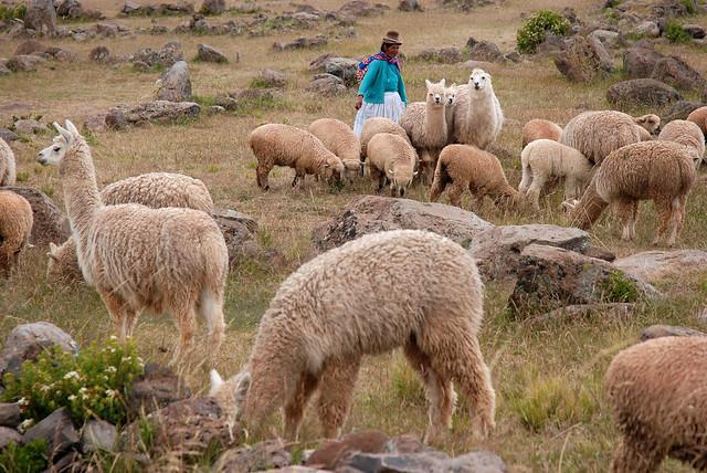 Lamas au Pérou