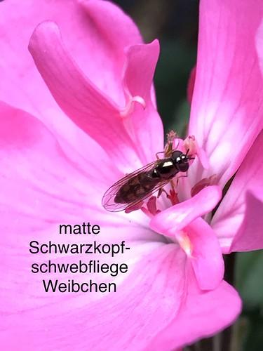 Matte Schwarzkopf-Schwebfliege (Melanostoma scalare) (1)