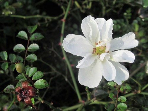 November Roses 02