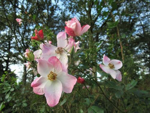 November Roses 01