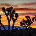 12 Joshua Trees at Sunset © Frank Zurey - 2nd Place Published