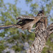 11 Greater Roadrunner © June Wolfe - 1st Place Novice