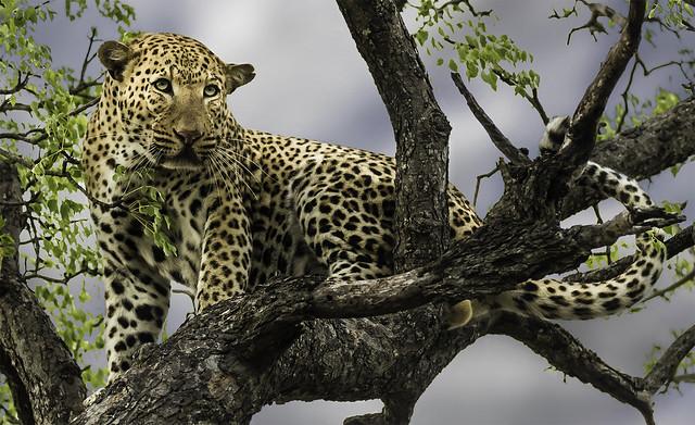 Léopard de Kapama