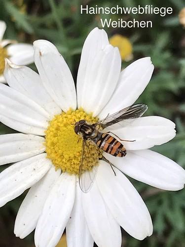 Hainschwebfliege (Episyrphus balteatus) (1)
